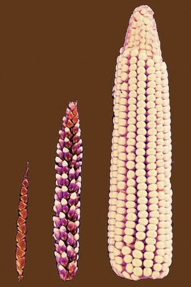 Ancestral Corn - All Rights: John Doebley