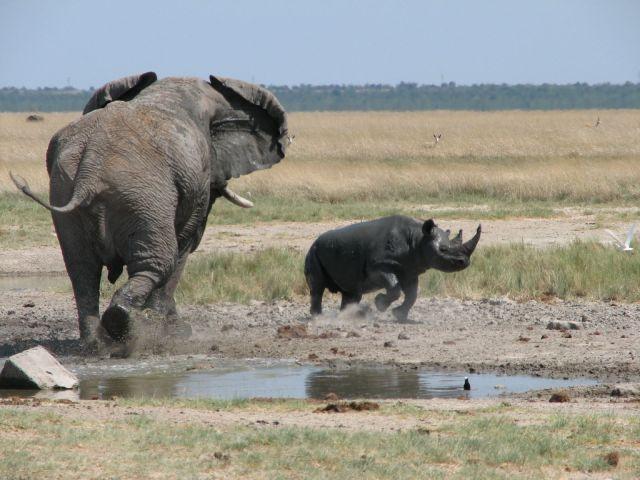 rhino-elephant